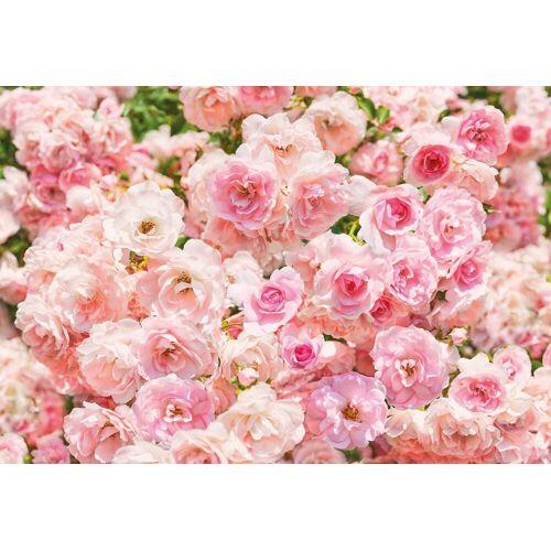 Komar Fototapete »Rosa«