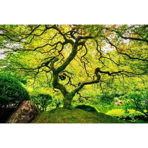 Home affaire Fototapete »Japanese Maple Tree«