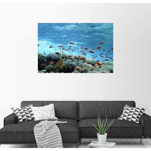 Posterlounge Wandbild, Premium-Poster Fahnenbarsche und Korallen