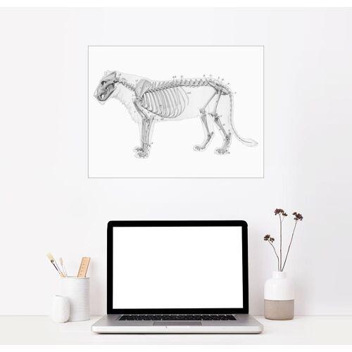 Posterlounge Wandbild, Anatomie des Löwen I