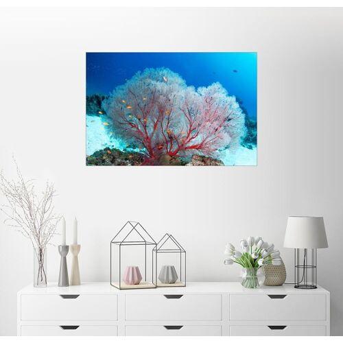 Posterlounge Wandbild, Premium-Poster Meeresfächer und Fahnenbarsche