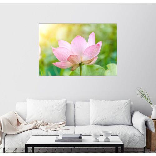 Posterlounge Wandbild, Lotusblüte und Lotusblumenpflanzen