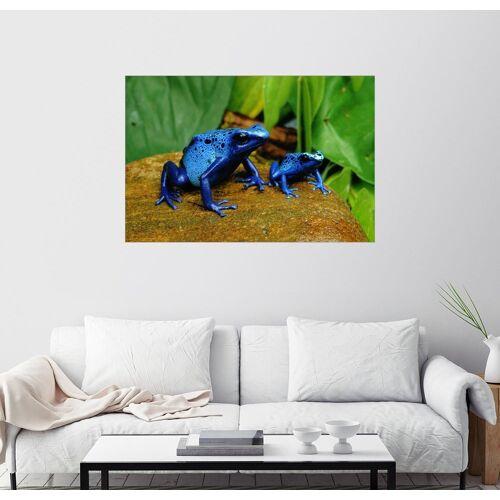 Posterlounge Wandbild, Blaue Pfeilgiftfrösche