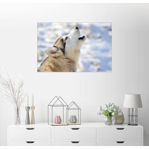 Posterlounge Wandbild, Premium-Poster Siberian Husky Junges