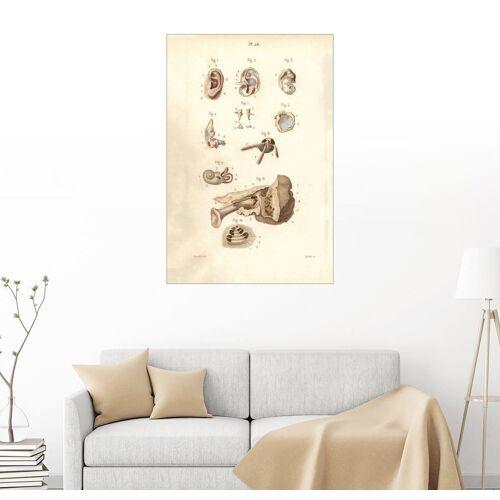 Posterlounge Wandbild, Ohr und Trommelfell