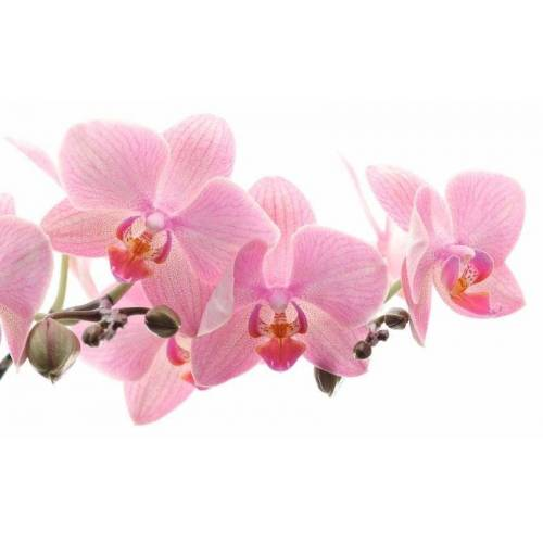 Rasch Fototapete »Orchidee«, mehrfarbig, 3D-Optik, FSC®