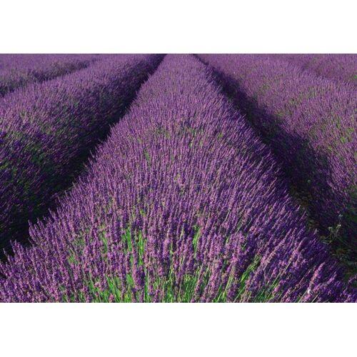 Rasch Fototapete »Lavendel«, mehrfarbig, FSC®