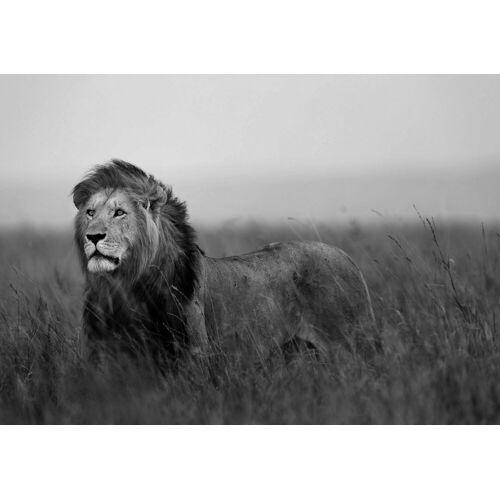 Fototapete »Löwe«, verschiedene Motivgrößen, für das Büro oder Wohnzimmer