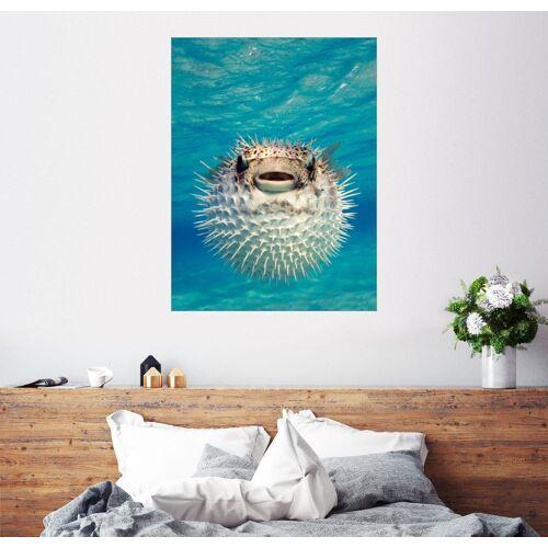 Posterlounge Wandbild, Aufgeblasener Kugelfisch