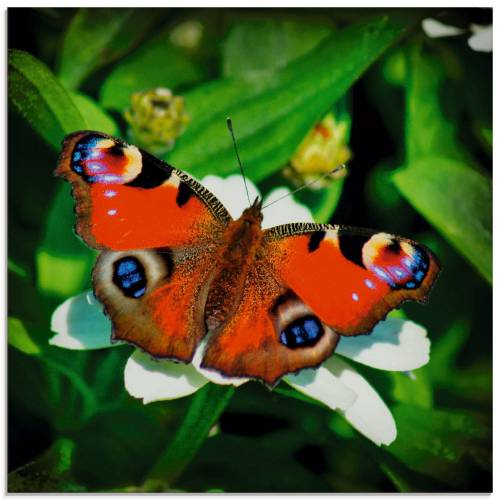Artland Glasbild »Tagpfauenauge«, Insekten (1 Stück)