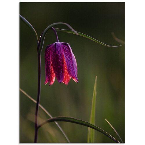 Artland Glasbild »Leuchtende Schachbrettblume«, Blumen (1 Stück)