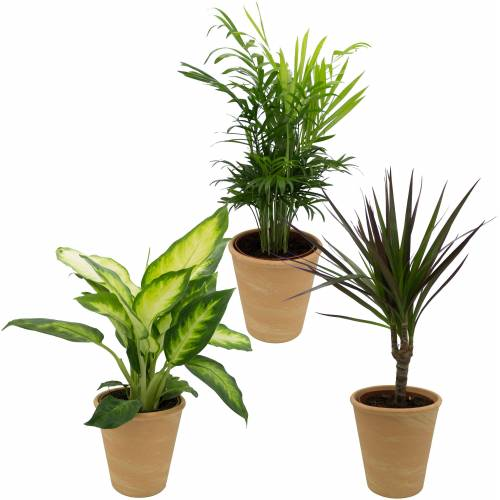Dominik Zimmerpflanze »Grünpflanzen-Set«, Höhe: 30 cm, 3 Pflanzen in Dekotöpfen, grün