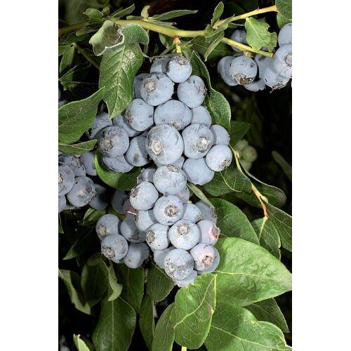 BCM Heidelbeere »Northland«, 40 cm, blau