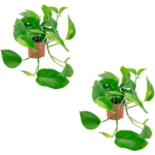 Dominik Zimmerpflanze »Efeututen«, Höhe: 30 cm, 2 Pflanzen, grün