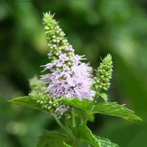 Newchic 30pcs Mentha Spicata Spearmint Seeds Perennial Flower