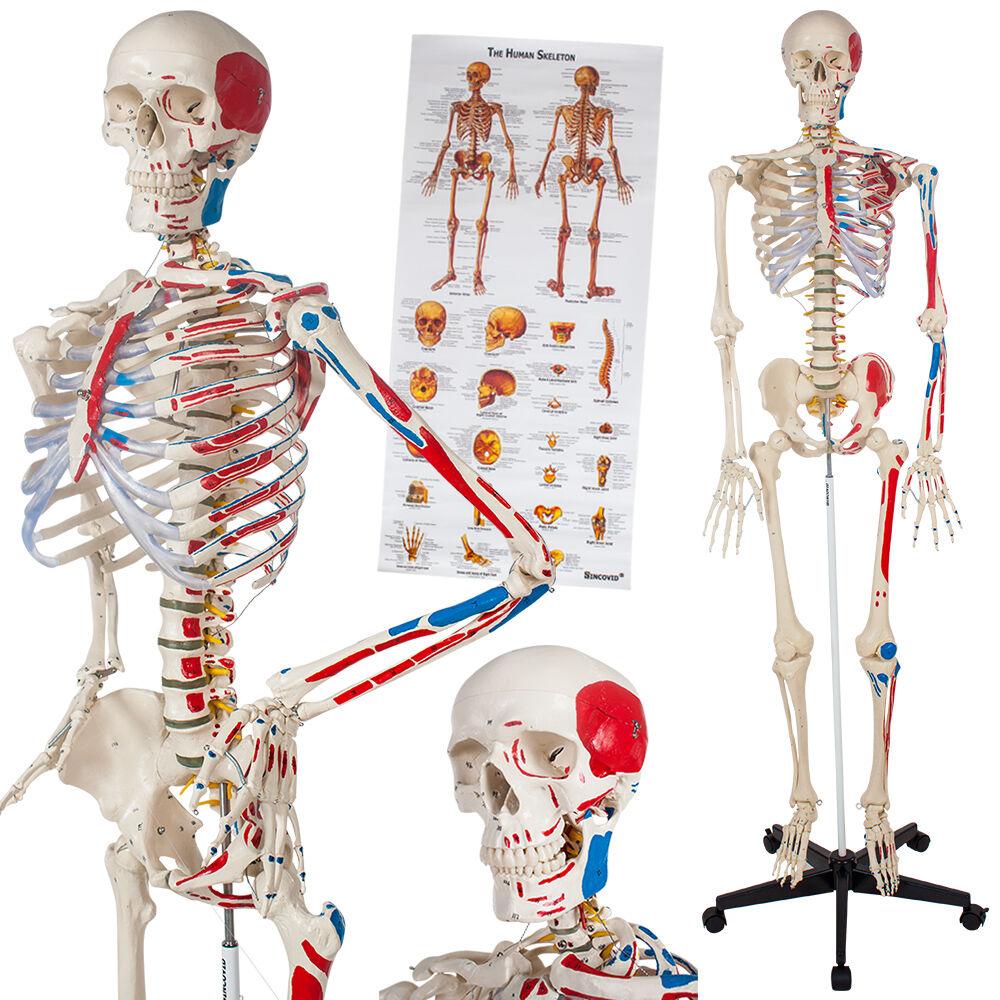 tectake Anatomisk skelet med markering af muskler og knogler - hvid