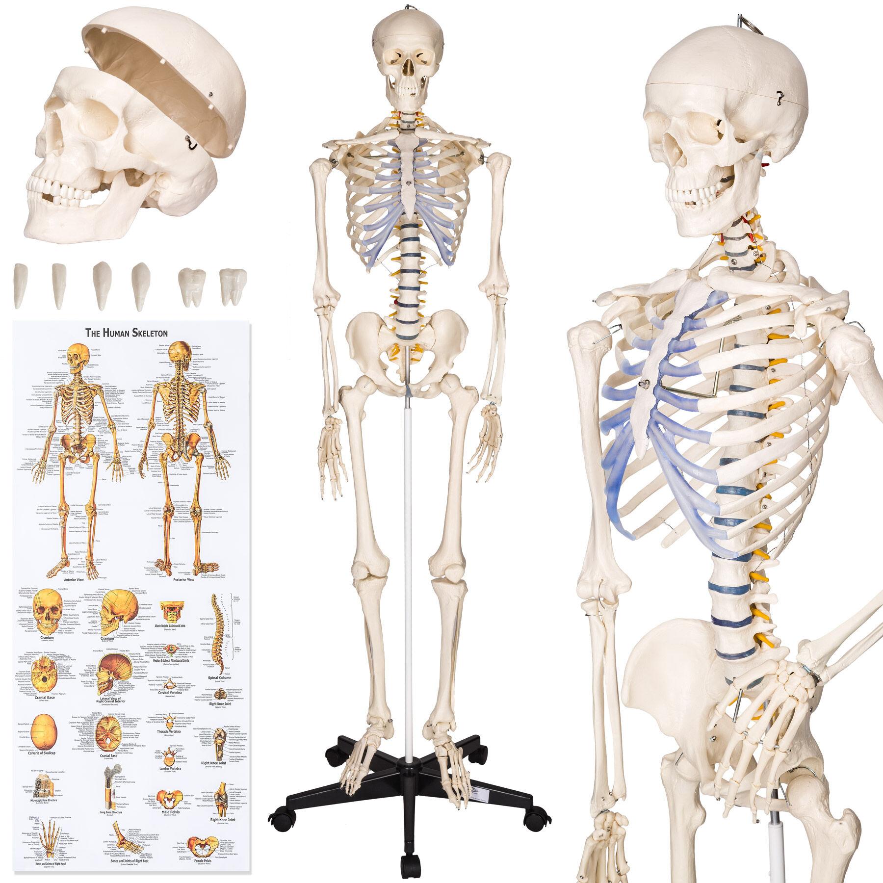 tectake Anatomisk skelet - Modelstørrelse 181cm - hvid