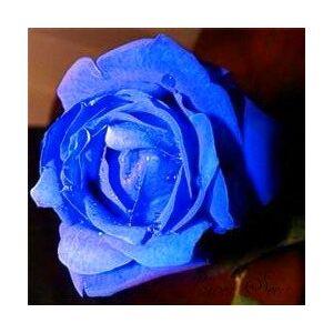 SVI 2015 Nuevos Raras 50 PC Rose Semillas Semillas de flores púrpura Negro Blanco Azul Rojo / rosa preciosa del Bonsai
