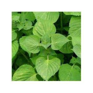 Astonish VISA STORE Paquete de 300 Semillas, Verde Shiso Semillas (Perilla)