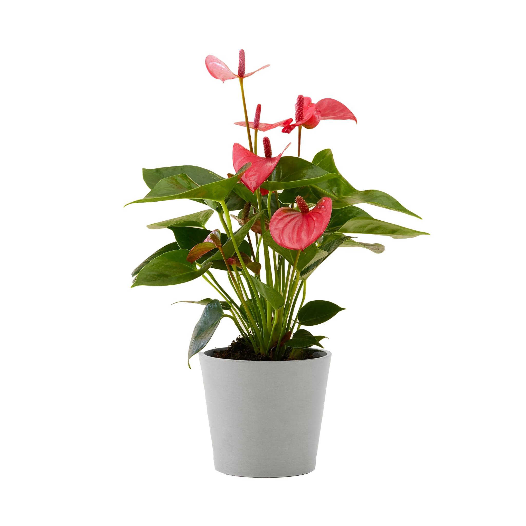 Flowy Plante d'intérieur - Anthurium rose 50 cm en pot blanc gris