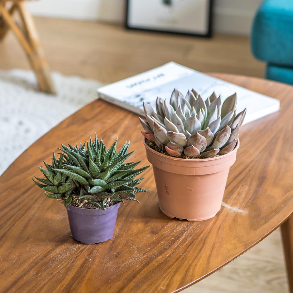 Réconciliation Végétale Plante d'intérieur succulente facile d'entretien - Lot de 2