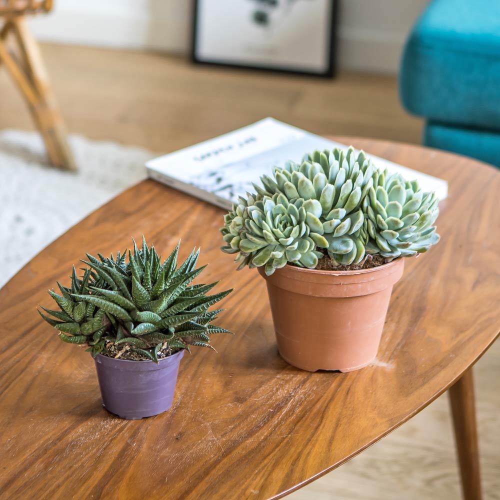 Réconciliation Végétale Plante d'intérieur grasse facile d'entretien - Lot de 2