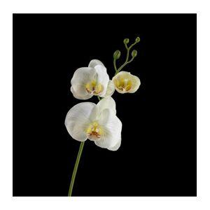 Phalaenopsis cr�ème - Publicité