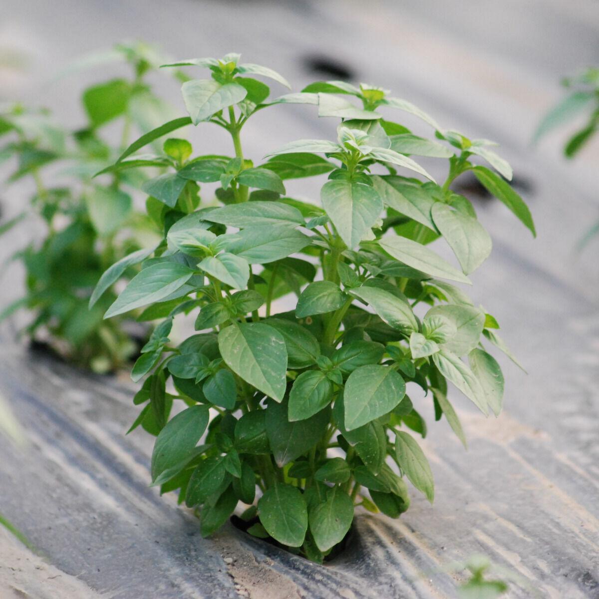 La Boite à Herbes Basilic Frais - Sachet 100g