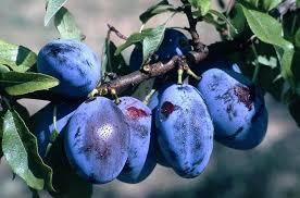 Le Jardin des Gallines Confiture De Prunes Bleues
