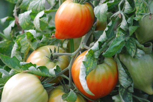 La Boite à Herbes Tomate Cœur De Bœuf Biologique - 1kg