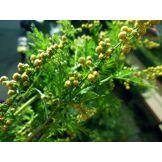 Graines d'Artemisia Annua Armoise Annuelle