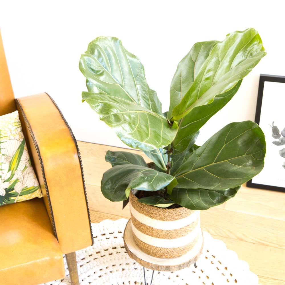 Réconciliation Végétale Ficus Lyrata facile d'entretien avec cache-pot