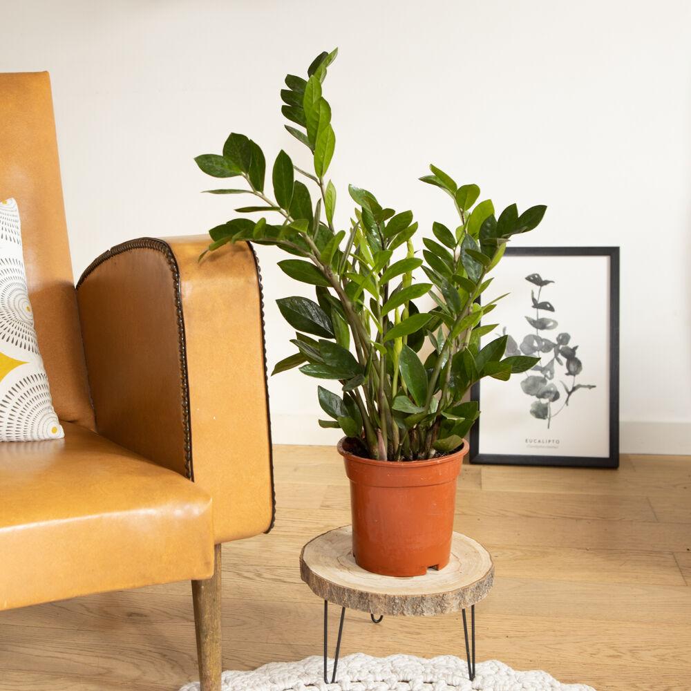 Réconciliation Végétale Plante d'intérieur facile d'entretien sans cache-pot