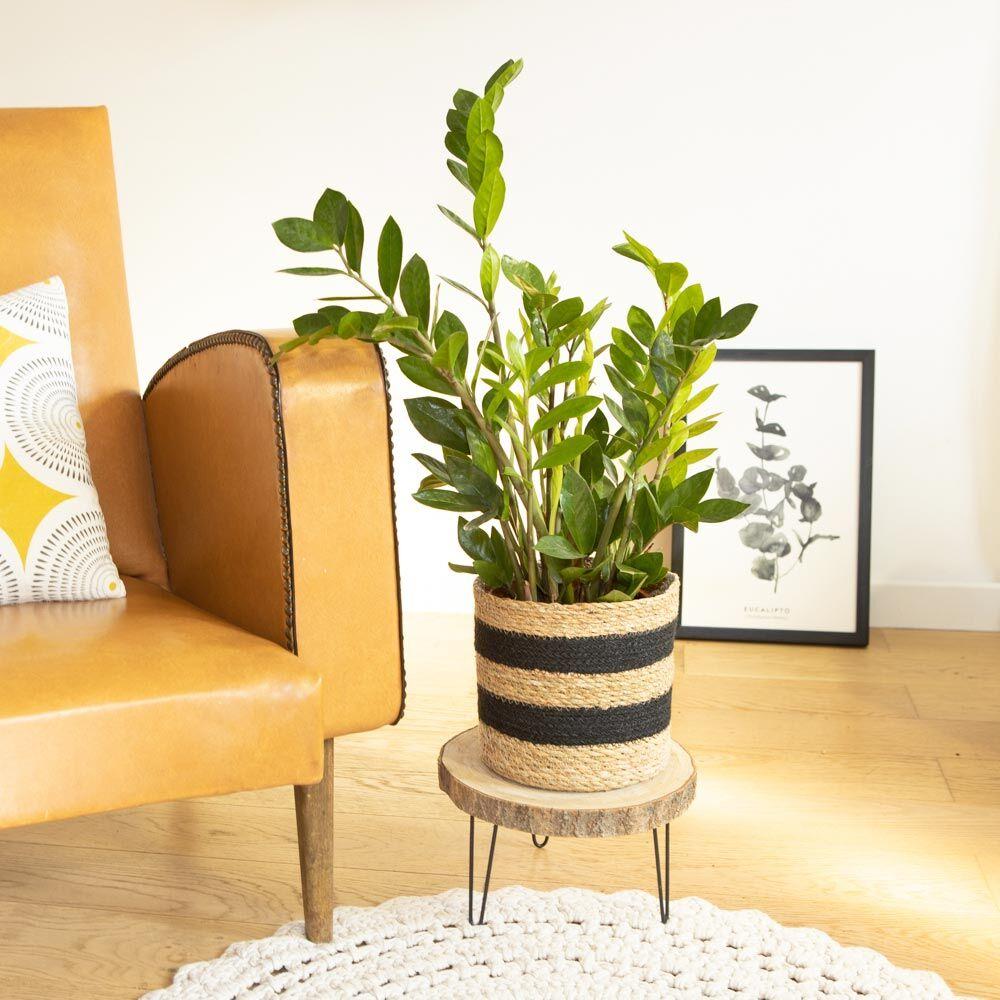 Réconciliation Végétale Plante d'intérieur facile d'entretien avec cache-pot