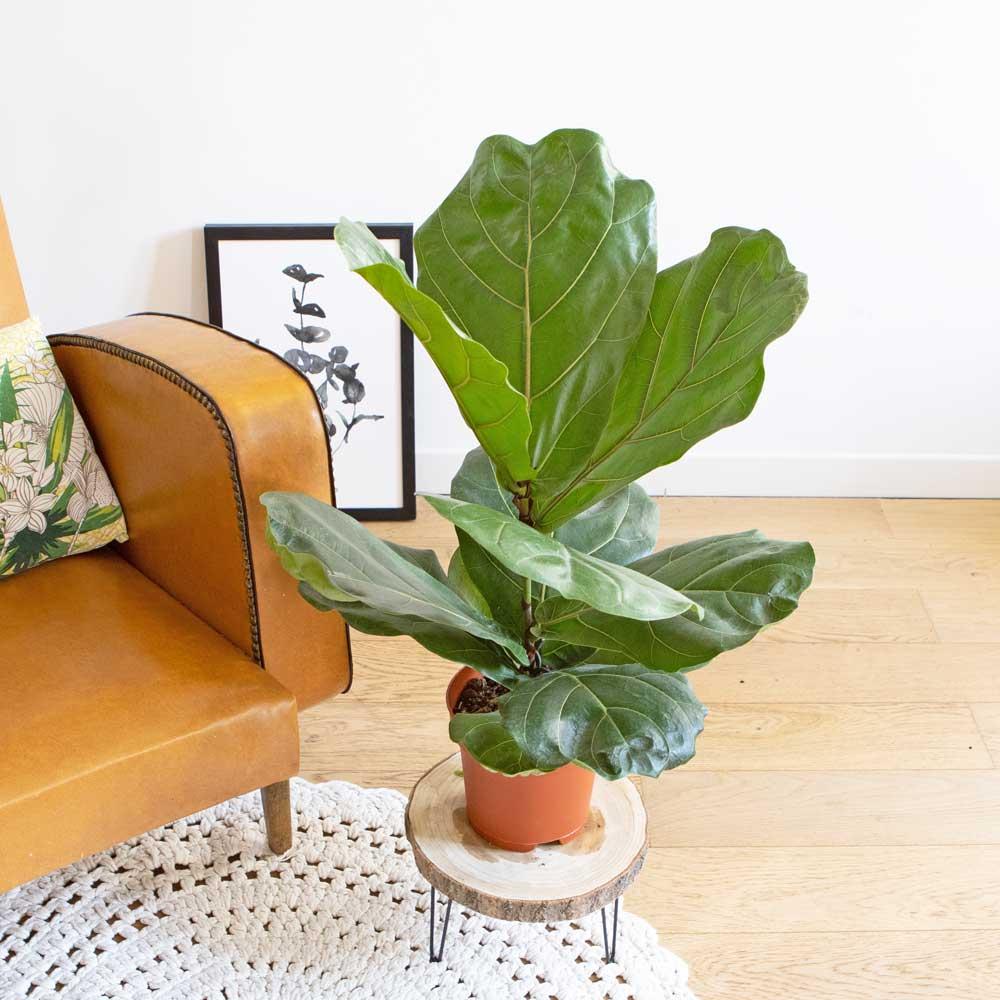 Réconciliation Végétale Ficus Lyrata facile d'entretien sans cache-pot