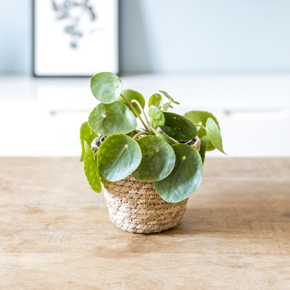 Réconciliation Végétale Plante porte bonheur avec cache-pot