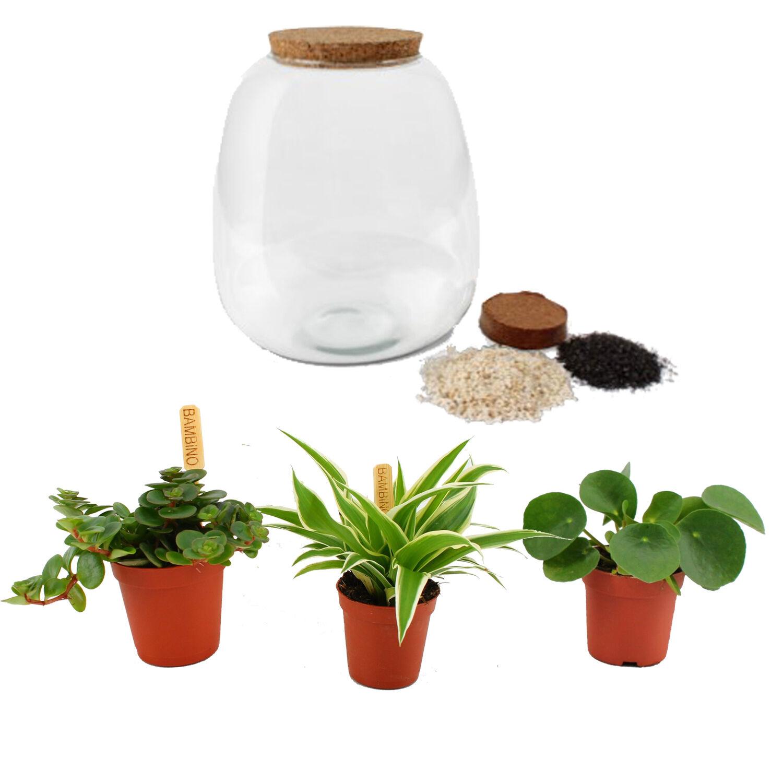 Flowy Plante d'intérieur - Terrarium de 3 plantes