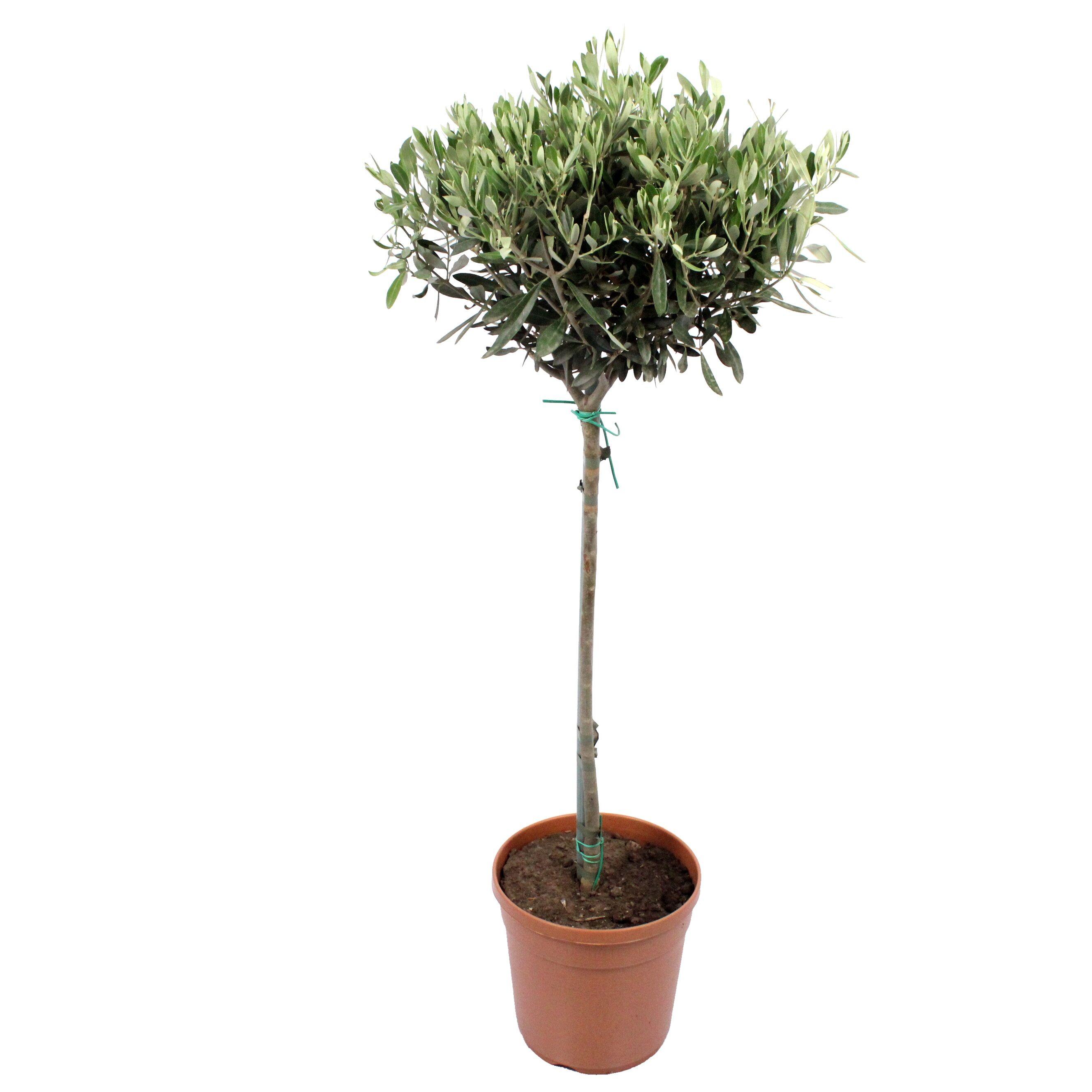 Flowy Plante d'intérieur - Olivier de 90 cm
