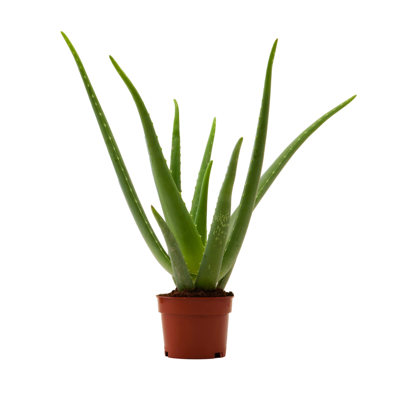Flowy Plante d'intérieur - Aloe Vera