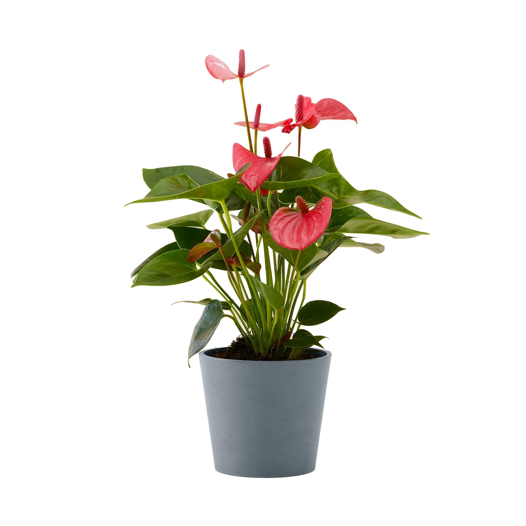 Flowy Plante d'intérieur - Anthurium rose 50 cm en pot bleu gris