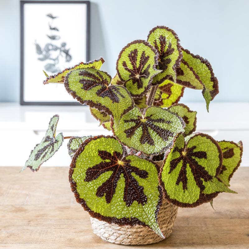 Réconciliation Végétale Plante d'intérieur bégonia croix de fer + cache-pot