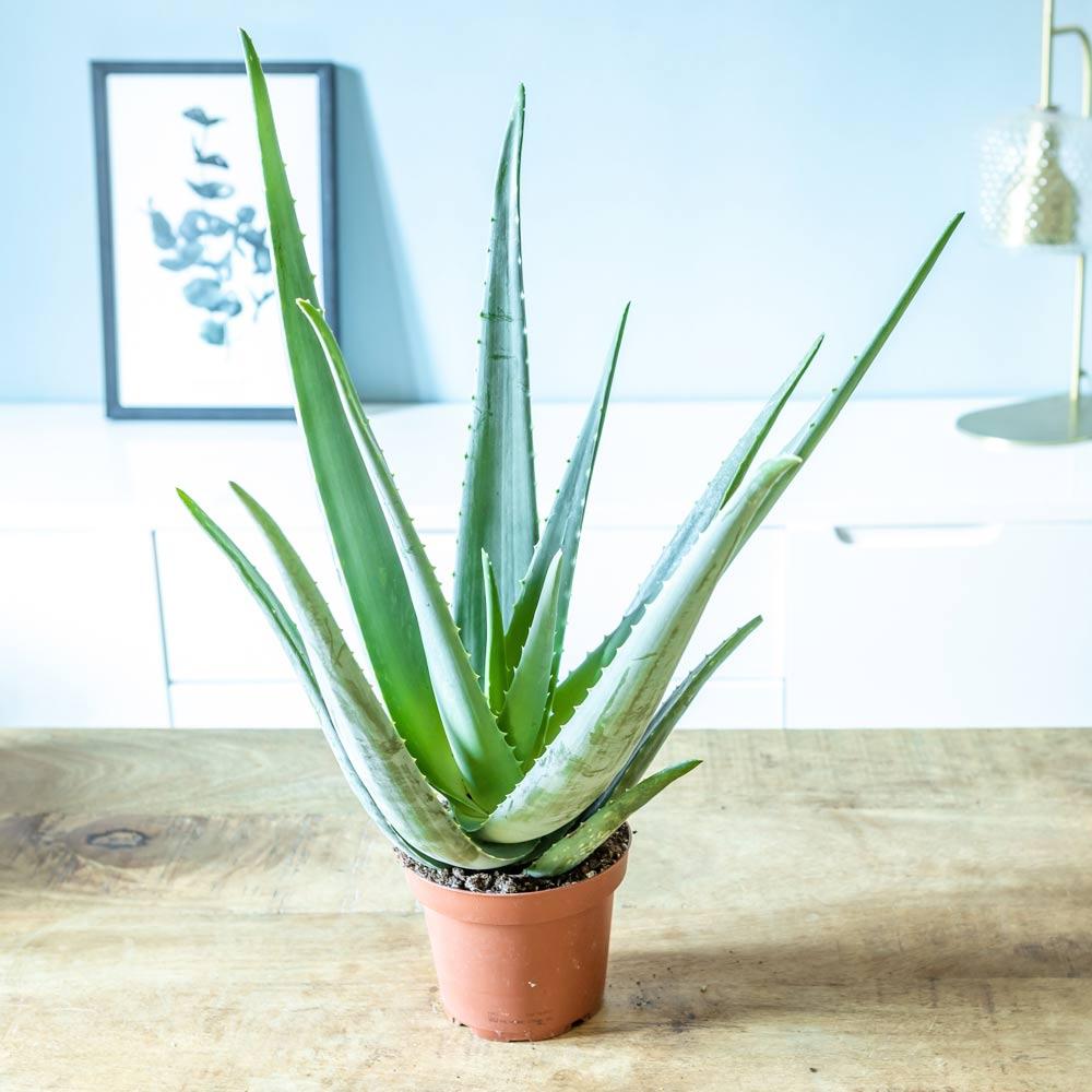 Réconciliation Végétale Aloe vera plante d'intérieur facile d'entretien