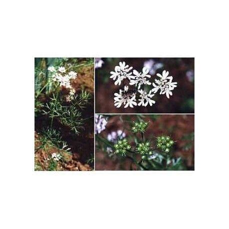 France Herboristerie Coriandre fruit 250 g POUDRE Coriandrum sativum - Phytothérapie