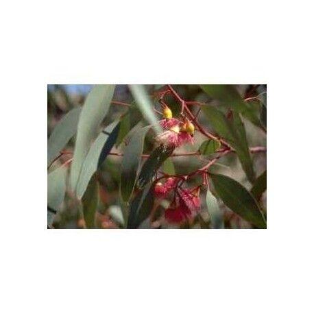France Herboristerie Eucalyptus feuille 1 Kg POUDRE Eucalyptus globulus - Phytothérapie