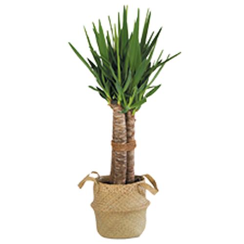 Interflora Yucca