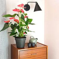 Interflora Anthurium