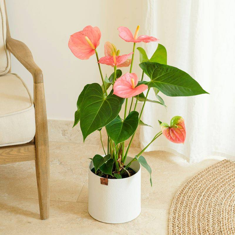 Interflora Anthurium - Livraison Plantes en 24H - Interflora