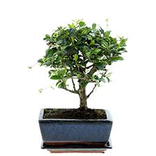Interflora Bonsai Carmona