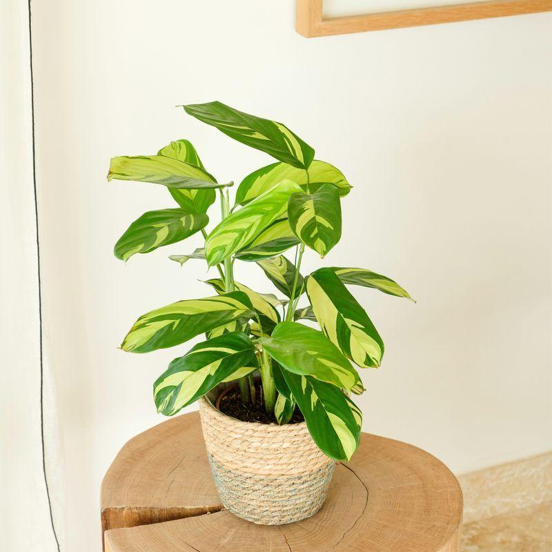 Interflora Calathea Gold - Interflora - Livraison Plantes à domicile en 24H partout en France