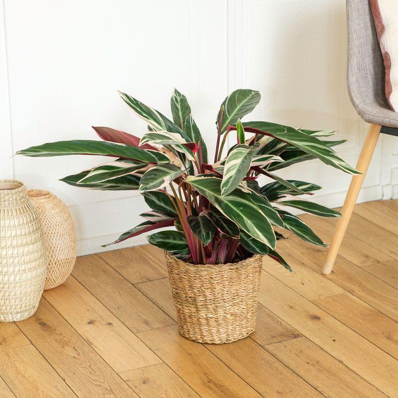 Interflora Calathea Triostar - Plante Intérieur - Livraison Plante à Domicile - Interflora